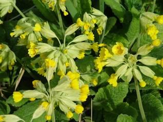 Cowslip-Primula veris