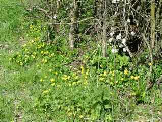 Lesser Celandine-Ranunculus ficaria