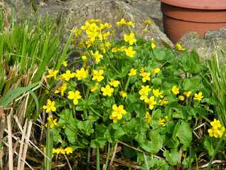 Marsh Marigold-Caltha palustris